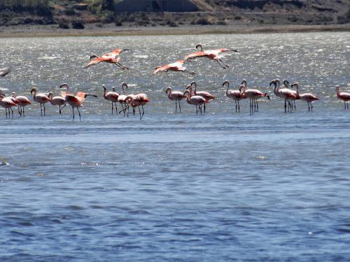 Flamingos at Lago Argentina